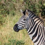Zebra (Einsteinova hádanka)